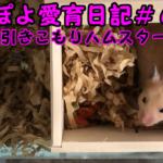 ぽよ愛育日記#6「引きこもりハムスター」【ゴールデンハムスター】