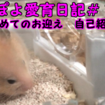 ぽよ愛育日記#1「初めてのお迎え 自己紹介」【ゴールデンハムスター】