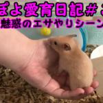 ぽよ愛育日記#3「魅惑のエサやりシーン」【ゴールデンハムスター】
